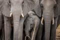 Baby Elephant in between a herd of Elephants.