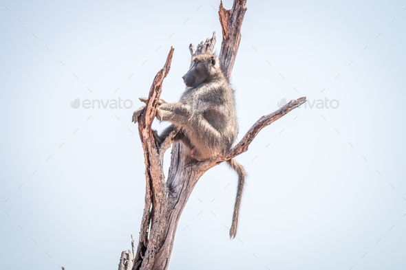Baboon sitting in a dead tree. - Stock Photo - Images