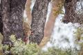 Leopard feeding on a zebra in a tree.