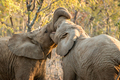 Two Elephants bonding.