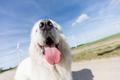 Funny dog portrait. Focus on a long tongue. Polish Tatra Sheepdog