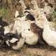 A Flock Of Domestic Ducks 2 - VideoHive Item for Sale