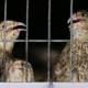 Quail In Cage On The Farm - VideoHive Item for Sale