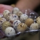 Packing Quail Eggs - VideoHive Item for Sale