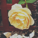 Yellow rose in a garden. Vintage film and grain style. - PhotoDune Item for Sale
