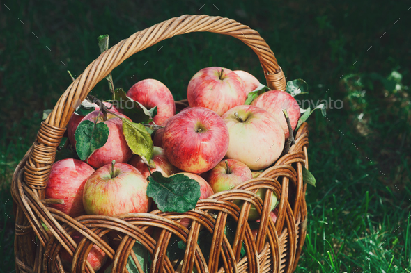 Basket with apples harvest in fall garden - Stock Photo - Images
