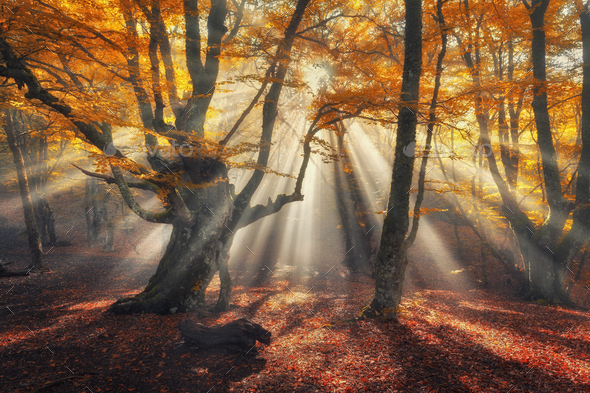 Autumn forest in fog with sun rays. Magical old trees - Stock Photo - Images