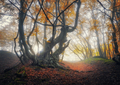 Mystical autumn forest in fog. Magical old trees in clouds - PhotoDune Item for Sale