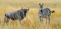 Zebra and wildebeest on grassland in Africa