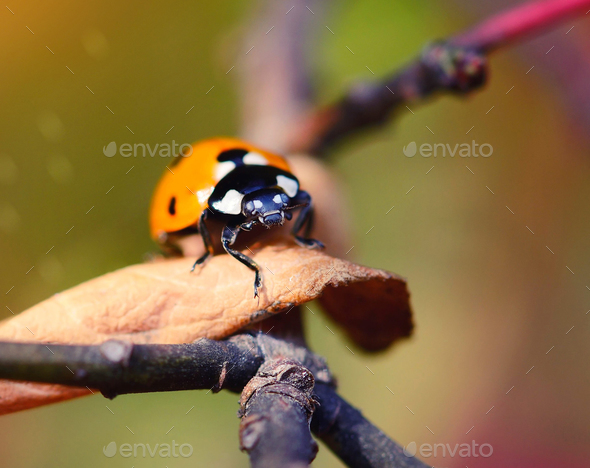 Ladybug on the fallen yellow leaves in the fall. Insects in the - Stock Photo - Images