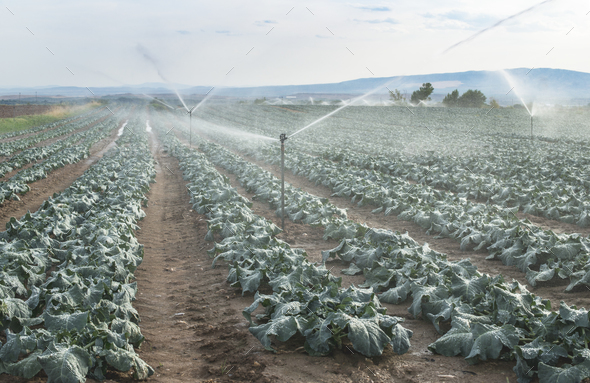 Watering cabbage with sprinklers - Stock Photo - Images