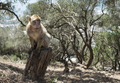 Barbary macaque monkey - PhotoDune Item for Sale