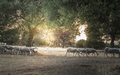Flock of sheep at sunset - PhotoDune Item for Sale