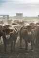 Calves in farm - PhotoDune Item for Sale