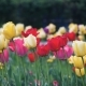 Spring Flowers Tulips - VideoHive Item for Sale