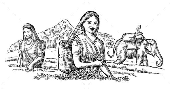 Female Tea Pickers Leaves - People Characters