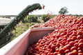 Harvester collects tomatoes in trailer - PhotoDune Item for Sale