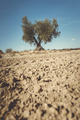 One olive tree - PhotoDune Item for Sale
