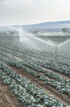 Watering cabbage with sprinklers - PhotoDune Item for Sale