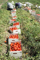 Picked tomatoes in crates - PhotoDune Item for Sale