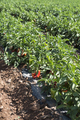 Growing peppers in the field - PhotoDune Item for Sale