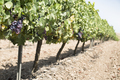 Red wine grapes. - PhotoDune Item for Sale