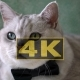 Cat In Black Bow Tie With Big Round Green Eyes Like Big Boss - VideoHive Item for Sale