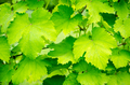 Grape leaves - PhotoDune Item for Sale