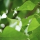 Leaves Backlit. Summer Poplar Tree - VideoHive Item for Sale