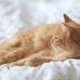Cute Ginger Cat Lying In Bed. Fluffy Pet Looks Sleepy - VideoHive Item for Sale