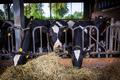 cows in a farm.  Dairy cows .