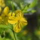 Flower of Greater Celandine - VideoHive Item for Sale