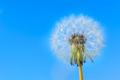 Dandelion globular head of seeds on the blue sky background - PhotoDune Item for Sale