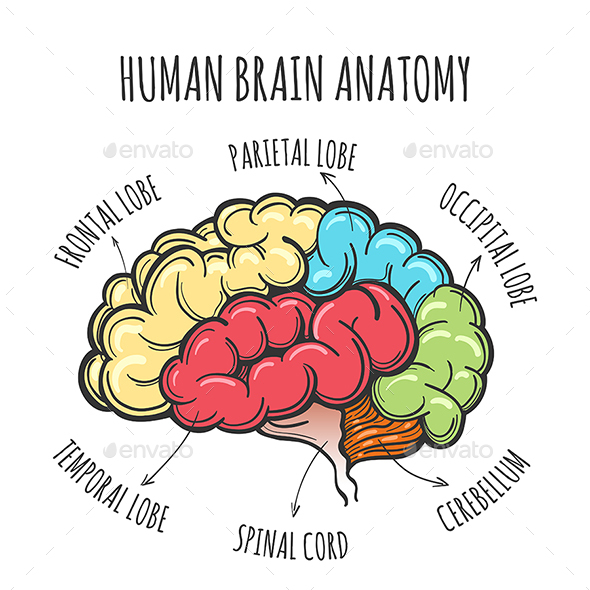 Human Brain Anatomy Sketch - Miscellaneous Vectors