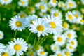 Summer meadow of blooming daisies, selective focus - PhotoDune Item for Sale