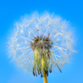White dandelion on the blue sky background - PhotoDune Item for Sale
