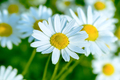 Blooming white daisy on the summer meadow background - PhotoDune Item for Sale