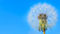 Dandelion white globular head of seeds on the blue sky backgroun - PhotoDune Item for Sale