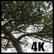Real Black Pine Tree with Alpha Channel Nulled