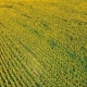 Aerial Shot Landscape With Sunflower - VideoHive Item for Sale