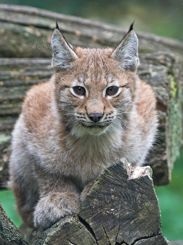 Eurasian lynx (Lynx lynx) - Stock Photo - Images