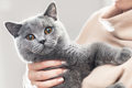 Cute kitten hold in hands. The British Shorthair