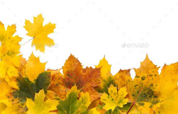 Autumn maple yellow leaves isolated on white background - Stock Photo - Images