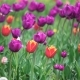 Colorful Tulips In The Park - VideoHive Item for Sale