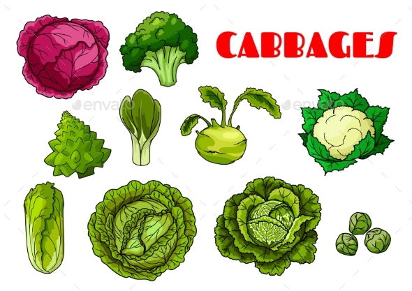 Vegetable Cabbage Isolated Vector Icons - Food Objects