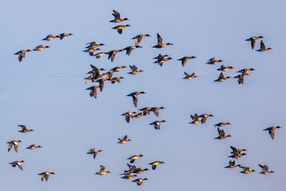 Flock of different species of duck - Stock Photo - Images