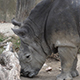 Southern White Rhinoceros (Ceratotherium Simum Simum) 04 - VideoHive Item for Sale