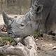 Southern White Rhinoceros (Ceratotherium Simum Simum) 03 - VideoHive Item for Sale