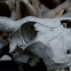 The Skull Of a Buffalo, Cow - VideoHive Item for Sale
