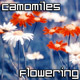 Camomiles Flowering - VideoHive Item for Sale